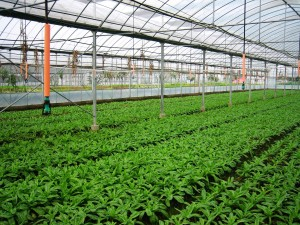 APPLICATION-OF-MICRO-IRRIGATION-AND-DRIP-IRRIGATION-IN-GREENHOUSE